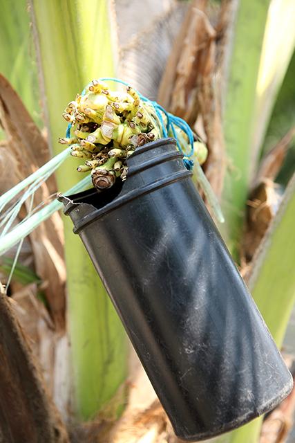 ココヤシの花茎から、原料の蜜を採取しているところ。
